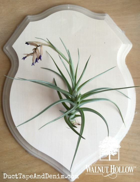 air plant planter on wood shield plaque